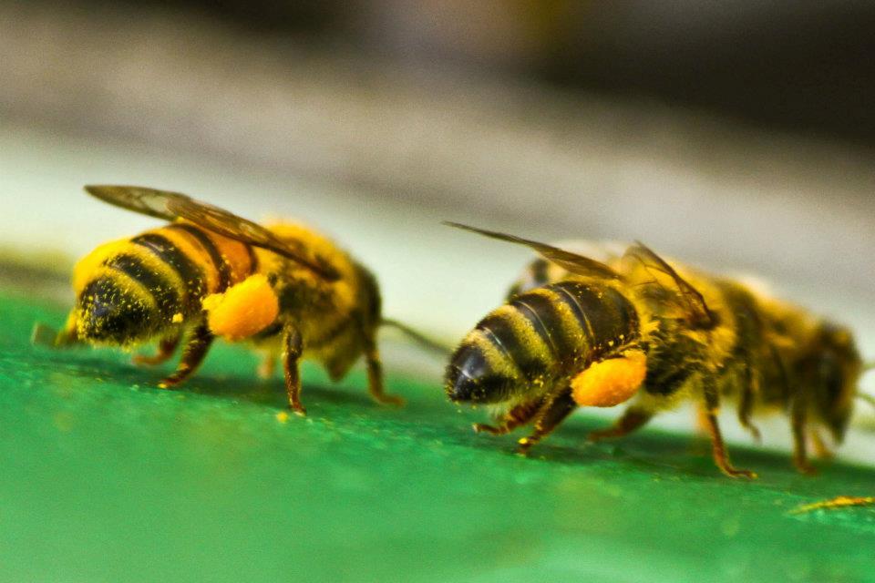 Bee Breeding Program McFarline Apiaries